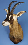 Zoology:Taxidermy, SOUTHERN ROAN ANTELOPE SHOULDER MOUNT. ...