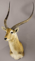 Zoology:Taxidermy, RECORD-BOOK KAFUE FLATS LECHWE SHOULDER MOUNT. ...