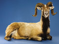 Zoology:Taxidermy, CORSICAN RAM FULL BODY MOUNT . ...