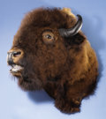 Zoology:Taxidermy, BELLOWING AMERICAN BISON SHOULDER MOUNT. ...