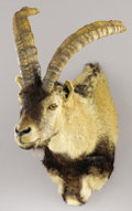 Zoology:Taxidermy, GREDOS IBEX SHOULDER MOUNT. ...