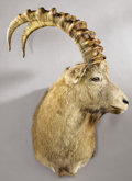 Zoology:Taxidermy, SIBERIAN IBEX SHOULDER MOUNT. ...