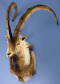 Zoology:Taxidermy, RECORD-BOOK PERSIAN IBEX SHOULDER MOUNT. ...