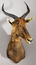 Zoology:Taxidermy, AFRICAN TSESSEBEE SHOULDER MOUNT. ...
