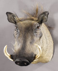 Zoology:Taxidermy, AFRICAN WARTHOG SHOULDER MOUNT . ...