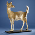 Zoology:Taxidermy, PIEBALD WHITE-TAIL FULL-BODY MOUNT. ...