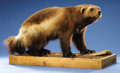 Zoology:Taxidermy, WOLVERINE FULL-BODY MOUNT...