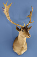 Zoology:Taxidermy, BROWN FALLOW DEER SHOULDER MOUNT. ...
