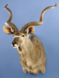 Zoology:Taxidermy, EASTERN CAPE GREATER KUDU SHOULDER MOUNT. ...