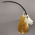 Zoology:Taxidermy, SCIMITAR HORNED ORYX SHOULDER MOUNT. ...