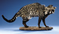 Zoology:Taxidermy, AFRICAN CIVET CAT FULL-BODY MOUNT. ...