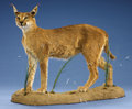 Zoology:Taxidermy, AFRICAN CARACAL CAT FULL-BODY MOUNT. ...
