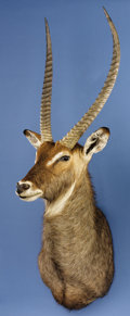 Zoology:Taxidermy, RECORD-BOOK WATERBUCK SHOULDER MOUNT. ...