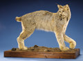 Zoology:Taxidermy, CANADIAN LYNX FULL-BODY MOUNT. ...