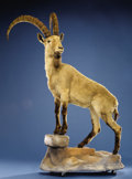 Zoology:Taxidermy, MONGOLIAN IBEX FULL-BODY MOUNT . ...