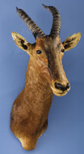 Zoology:Taxidermy, AFRICAN TIANG SHOULDER MOUNT. ...