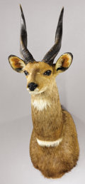 Zoology:Taxidermy, LIMPOPO BUSHBUCK SHOULDER MOUNT. ...