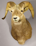 Zoology:Taxidermy, ROCKY MOUNTAIN BIGHORN SHEEP SHOULDER MOUNT. ...