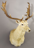 Zoology:Taxidermy, WHITE FALLOW DEER SHOULDER MOUNT. ...