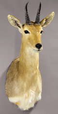 Zoology:Taxidermy, SOUTHERN MOUNTAIN REEDBUCK SHOULDER MOUNT. ...