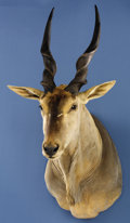 Zoology:Taxidermy, RECORD-BOOK ELAND SHOULDER MOUNT. ...