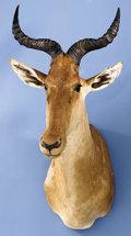 Zoology:Taxidermy, COKE'S HARTEBEEST SHOULDER MOUNT. ...