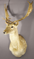 Zoology:Taxidermy, SPOTTED FALLOW DEER SHOULDER MOUNT. ...