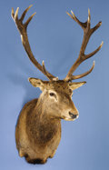 Zoology:Taxidermy, 7 x 7 RED STAG SHOULDER MOUNT. ...