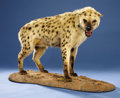 Zoology:Taxidermy, SPOTTED HYENA FULL-BODY MOUNT. ...