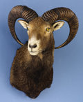 Zoology:Taxidermy, IRANIAN RED SHEEP SHOULDER MOUNT. ...
