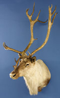 Zoology:Taxidermy, MOUNTAIN CARIBOU SHOULDER MOUNT. ...