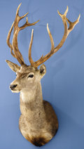 Zoology:Taxidermy, RED STAG SHOULDER MOUNT. ...