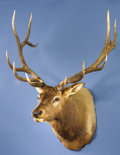 Zoology:Taxidermy, 8 x 6 RECORD ELK SHOULDER MOUNT. ...
