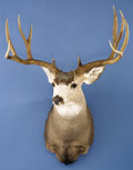 Zoology:Taxidermy, ROCKY MOUNTAIN MULE DEER SHOULDER MOUNT. ...