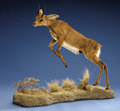 Zoology:Taxidermy, STEENBOK FULL-BODY MOUNT. ...