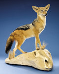 Zoology:Taxidermy, BLACK-BACKED JACKAL FULL-BODY MOUNT. ...