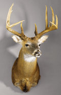 Zoology:Taxidermy, 168 BOONE & CROCKETT GROSS 11-POINT WHITE-TAIL DEER SHOULDER MOUNT. ...