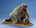 Zoology:Taxidermy, AMERICAN PORCUPINE FULL-BODY MOUNT . ...