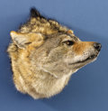 Zoology:Taxidermy, COYOTE SHOULDER MOUNT. ...