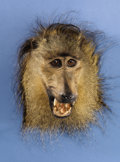 Zoology:Taxidermy, CHACMA BABOON SHOULDER MOUNT . ...