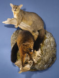 Zoology:Taxidermy, AUSTRALIAN GRAY AND CINNAMON BRUSHTAIL POSSUMS FULL-BODY MOUNTS. ...