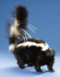 Zoology:Taxidermy, STRIPED SKUNK FULL-BODY MOUNT. ...