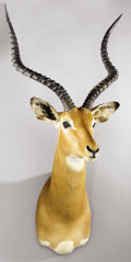 Zoology:Taxidermy, EAST AFRICAN IMPALA SHOULDER MOUNT. ...