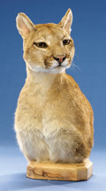 Zoology:Taxidermy, MOUNTAIN LION SHOULDER PEDESTAL. ...
