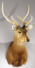 Zoology:Taxidermy, JAPANESE SIKA DEER SHOULDER MOUNT. ...