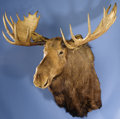 Zoology:Taxidermy, 12 x 11 POINT ALASKAN MOOSE SHOULDER MOUNT . ...