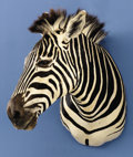 Zoology:Taxidermy, ZEBRA SHOULDER MOUNT . ...