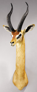 Zoology:Taxidermy, GERENUK GAZELLE SHOULDER MOUNT . ...