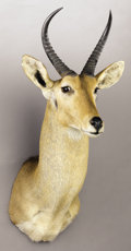 Zoology:Taxidermy, REEDBUCK SHOULDER MOUNT. ...