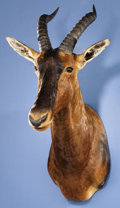 Zoology:Taxidermy, AFRICAN TOPI SHOULDER MOUNT. ...